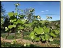 Vines are Growing!