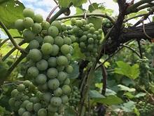 Lots of Grapes!