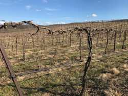 Pruned Vines Ready to Go