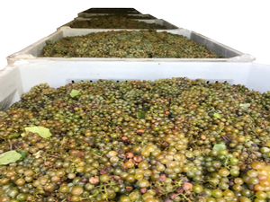 Bins of Grapes Ready for Pressing