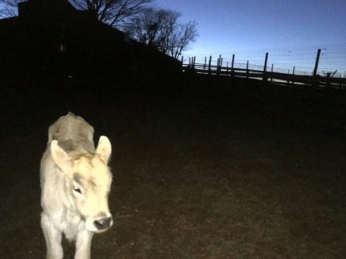 Curious Calf at Dusk