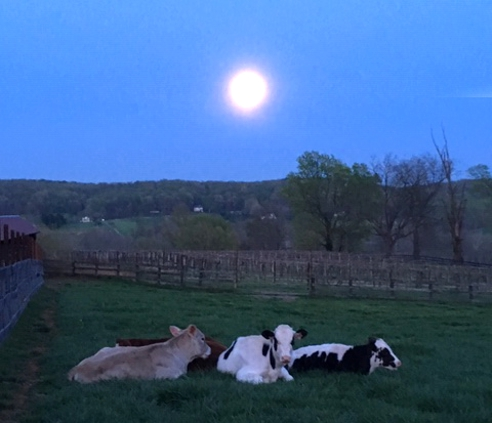 Sleepy Cows Under a Rising Moon