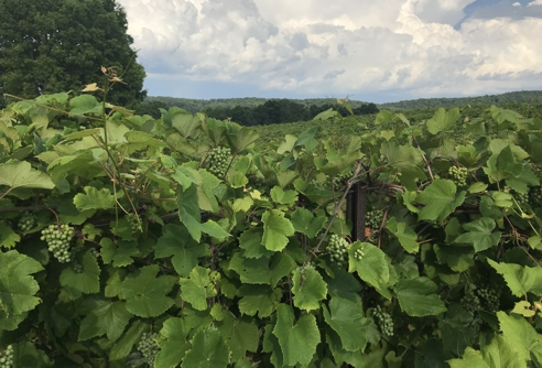 Beautiful Vines with Grapes