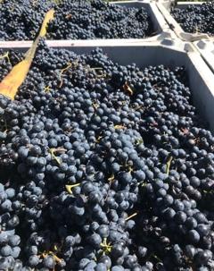 Lots & Lots of Grapes!