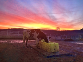 Cow with Breathtaking Sky