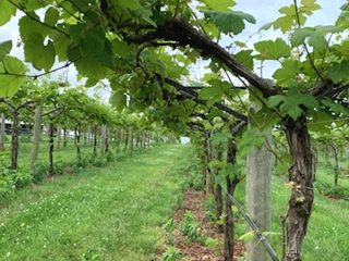 Row of Growing Vines