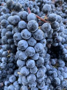 Beautiful Ripe Grapes