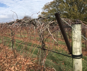 Vines in Late November