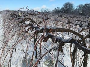 Vines Laden with Ice