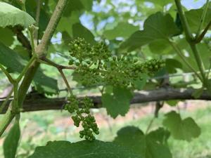 Vine Flowers