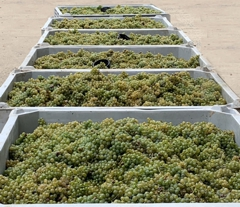 Grapes Ready for Processing
